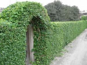Живая изгородь, настоящий забор с калиткой