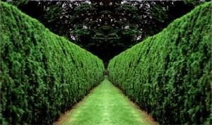 Живая изгородь, высокая и длинная