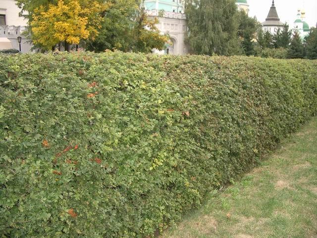 Живая изгородь защита или украшение