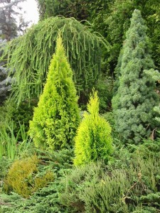 Как выглядят хвойные растения на участке