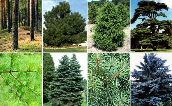 Все хвойные растения полезны для