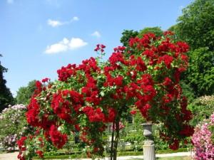 Розарий в вашем саду