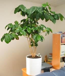 Кофейное дерево в квартире
