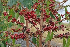 Кофейное дерево на плантации