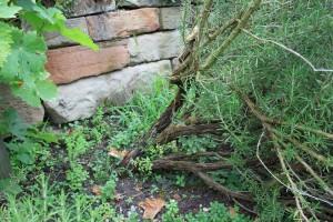 Под подпорной стенкой можно посадить куст
