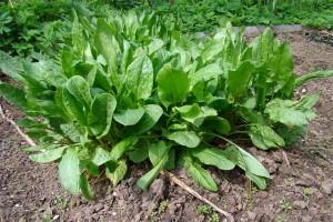 Hapuoblikas Krupnolistnoi (Suurelehine) Rumex acetosa  Sorrel  N