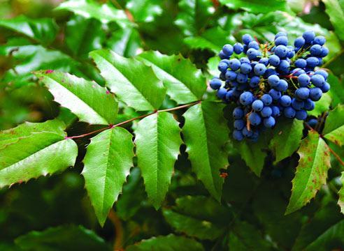 Плоды магонии имеют темно-синий цвет