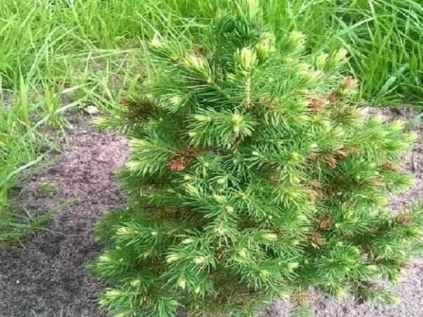 Карликовая канадская ель