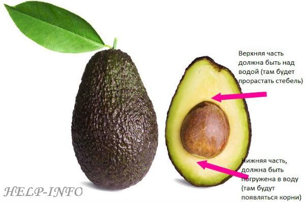 В домашних условиях авокадо выращивают из косточки