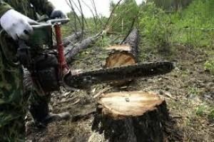 Самовольные вырубки не являются такой уж страшной угрозой для лесного фонда