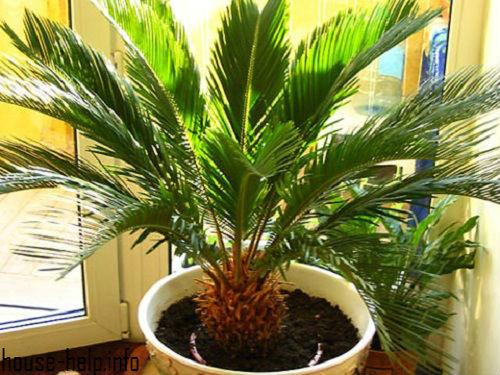 Если «возраст» растения не превышает трех лет, то его ежегодно следует пересаживать в новый горшок