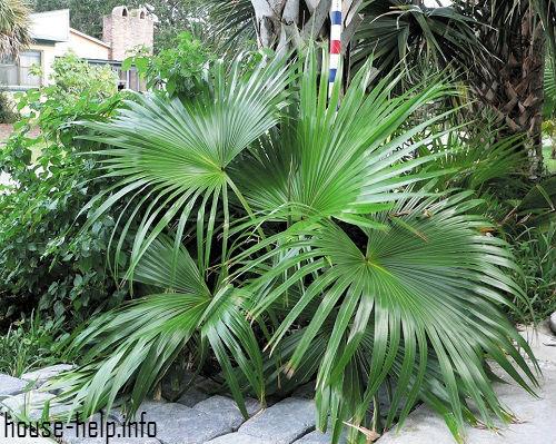 Пальма весьма восприимчива к внешним повреждениям