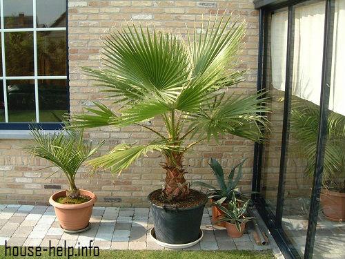 Если комнатная температура по той или иной причине покажется конкретному виду пальмы слишком низкой, то ей перестанет хватать питательных веществ