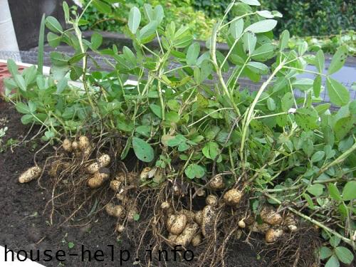 Если все прошло удачно, можете на следующий год попытаться вырастить арахис в домашних условиях уже в открытой почве