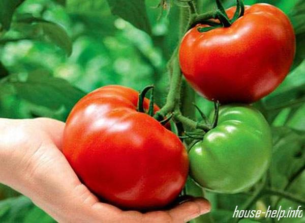 Подкармливать томаты лучше органическими удобрениями