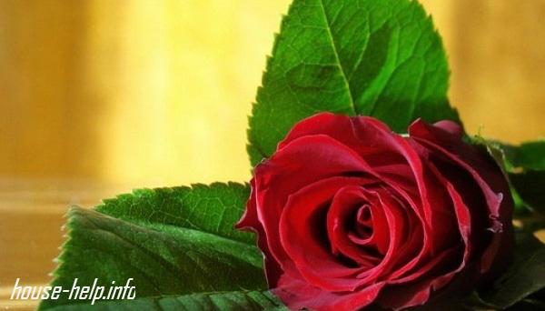 Узнайте, как продлить жизнь розам в вазе