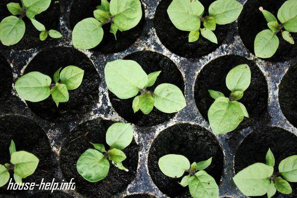 За рассадой баклажанов нужно хорошо ухаживать