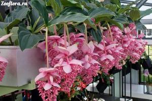 мединилла цветок фото
